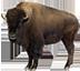 buffalo_trail_lvbet